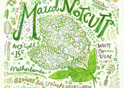 Flower - Maud Lilac